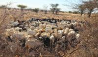 Shannon Tucker, Turkana, Kenya, veterinary, animals